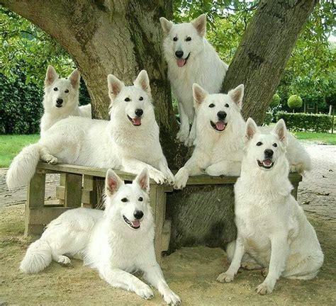 all white german shepherd best 25 white german shepherds ideas on