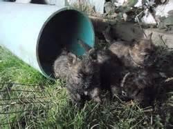 puppies marma's cairn terriers