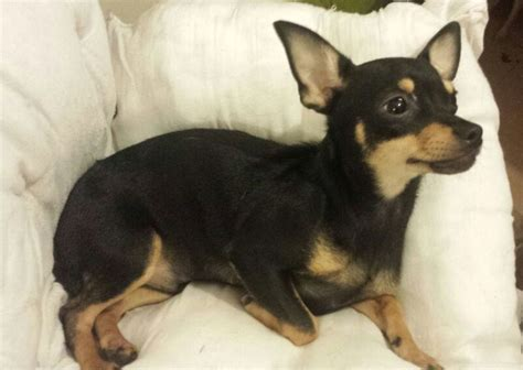 chihuahua min pin puppies chihuahua cross puppy ig x min pin birmingham west midlands pets4homes