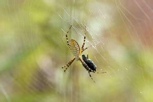 Garden Spider Hibernation Do Japanese Beetles Hibernate Quirk Brain