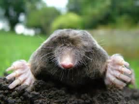 Get Rid Of Bugs In Backyard Http Upload Wikimedia Org Wikipedi Up Of Mole Jpg