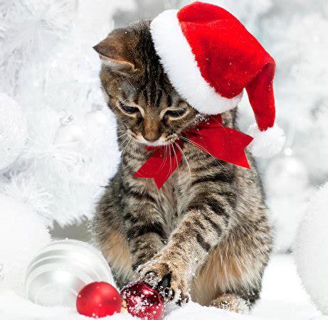 fonds decran chat domestique jour feries nouvel  chatons chapeau dhiver boules noeud de