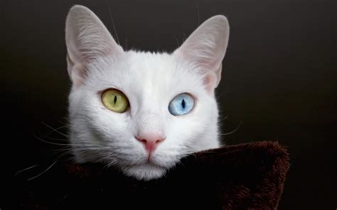 White Cat beautiful white cat with different thinking about