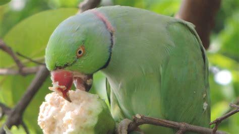 birds eating peanut funny parrot cockatiels beautiful top