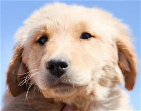 golden retriever colorado springs petfinder adoptable golden retriever colorado springs co golden