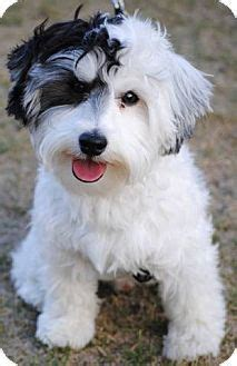 derby city havanese esteban 8 13 2013 at los angeles county animal shelter downey adoptable dogs