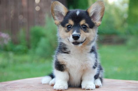 the most cutest puppy in the world the cutest puppy in the world 2014 www pixshark images galleries with a bite