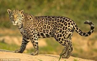 Jaguar Delaware 43 Jaguar
