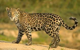 What Are Jaguars Known For Of The Only Known Jaguar In The Us Shows It In