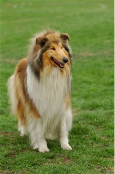 lassie breed collie breed information pictures lassie