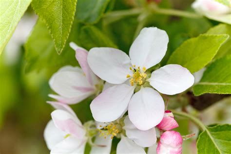 Blossom Free apple blossom free stock photo domain pictures