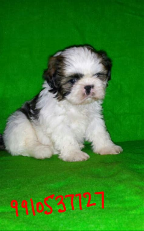 best toys for shih tzu puppies shih tzu puppies for sale keshatra s kennel 1 14134 dogs for sale price of