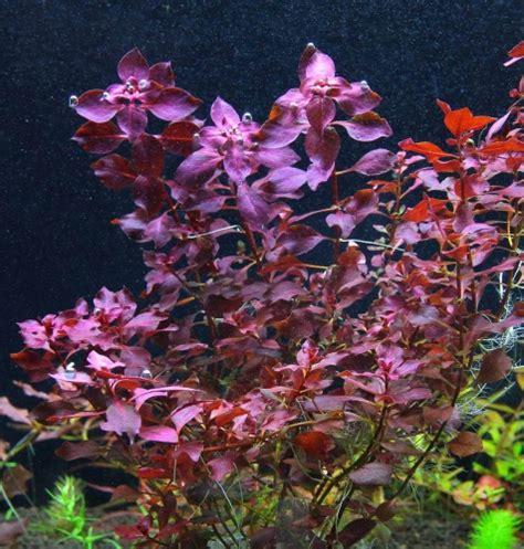 Ludwigia sp. Mini Super Red - Welkom bij aquarium-planten ... Ludwigia Repens