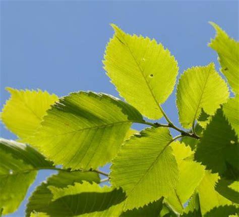 leaf pattern wiki elm tree lovetoknow