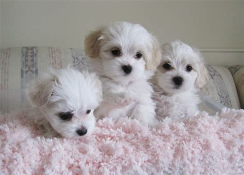 havanese puppy world s top cutest breeds pets world