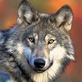 Gray Wolf Wallpaper for iPad and Galaxy Tab - Tablet & iPad Wallpapers