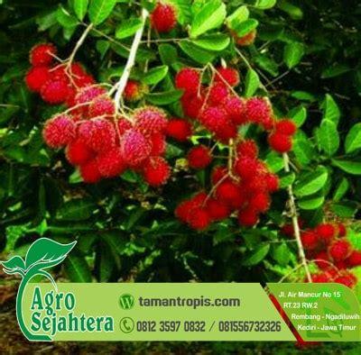 Bibit Pohon Rambutan Binjai jual bibit rambutan binjai