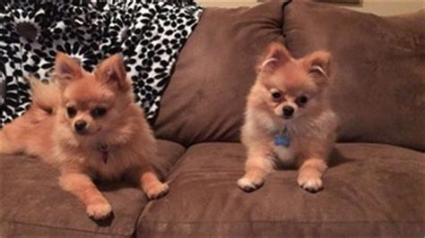 chihuahua mixed with pomeranian for sale view ad pomeranian mix puppy for sale oregon monmouth usa