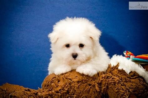 maltipom puppies malti pom maltipom puppy for sale near cleveland ohio 857725ab 8f51