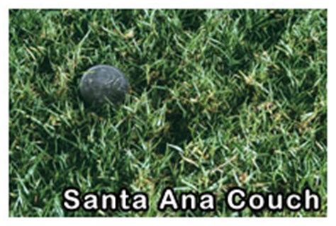 santa ana couch maintenance turf supplies from exotic lawns including couch kikuyu