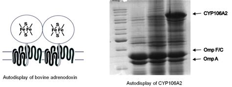 protein exles exle of a protein with a prosthetic