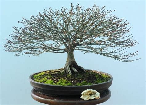 Acero Giapponese Cura by Bonsai Acero Palmato Cura Bonsai Coltivazione Bonsai