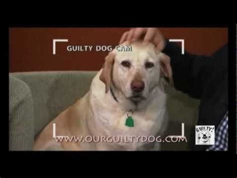 guilty golden retriever denver denver official guilty www guiltydog funnydog tv