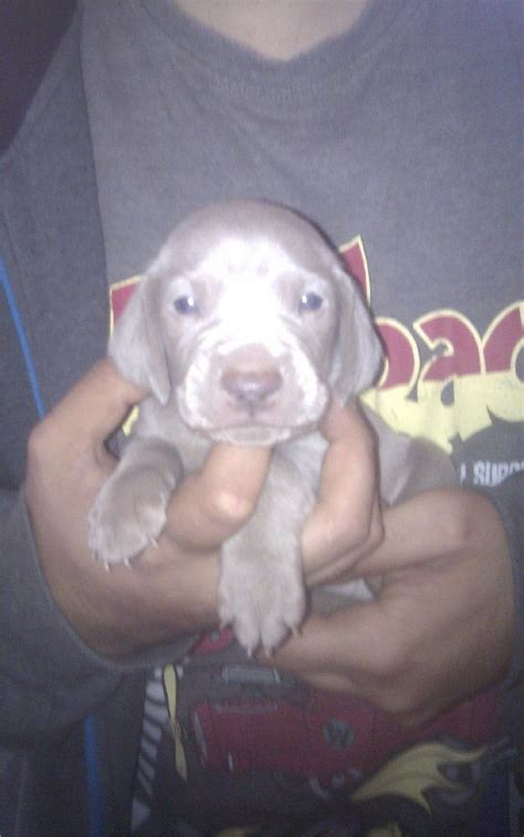 weimaraner puppies for sale weimaraner puppies for sale manchester greater manchester pets4homes