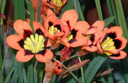 fiori da piantare in autunno bulbose da piantare in autunno la sparaxis pollicegreen