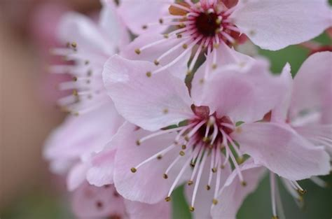 Cherry Blossom Photos Free Stock Photos Download 1 316 Japanese Cherry Blossom Flower