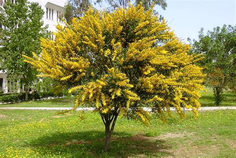acacia locust tree wattle tree