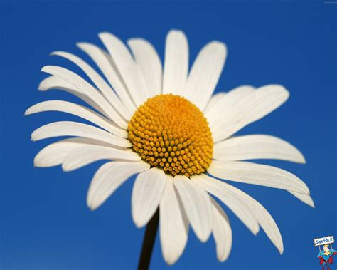 immagini di fiori margherite immagini margherite 25 immagini in alta definizione hd