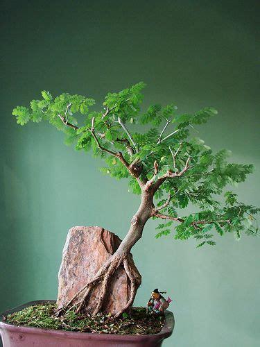 Jual Bibit Bonsai Beringin jual tanaman hias bonsai beringin cara membuat tanaman