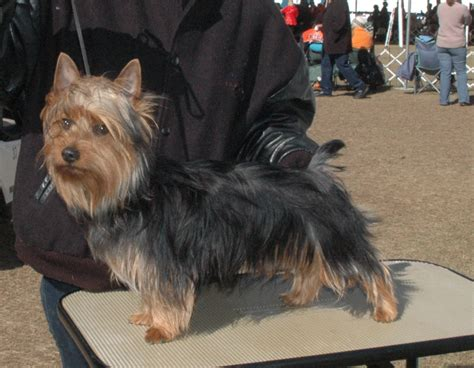 haircuts for yorkshire terriers with silky hair australian terrier haircuts hairstylegalleries com