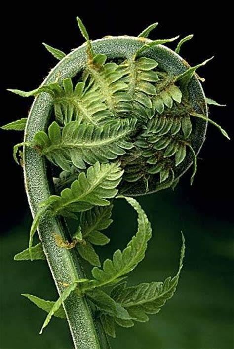 fibonacci spiral in plants at its most simple a fibonacci series would be a series in which
