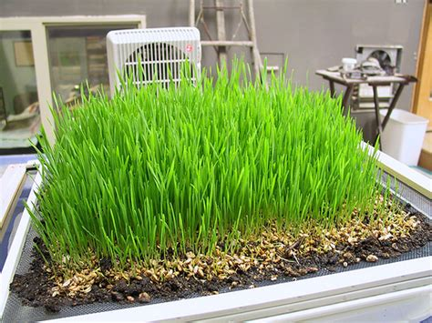 easy grow wheatgrass grow wheatgrass from your backyard to enjoy wheatgrass