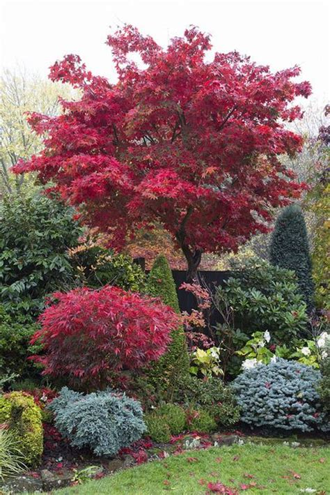 17 best ideas about acer palmatum on japanese maple garden landscaping trees and