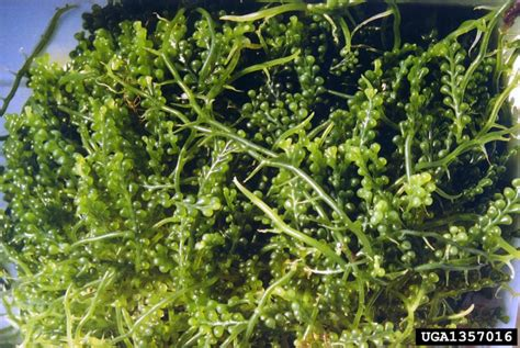 Anggur Laut grape caulerpa caulerpa racemosa caulerpales caulerpaceae 1357016