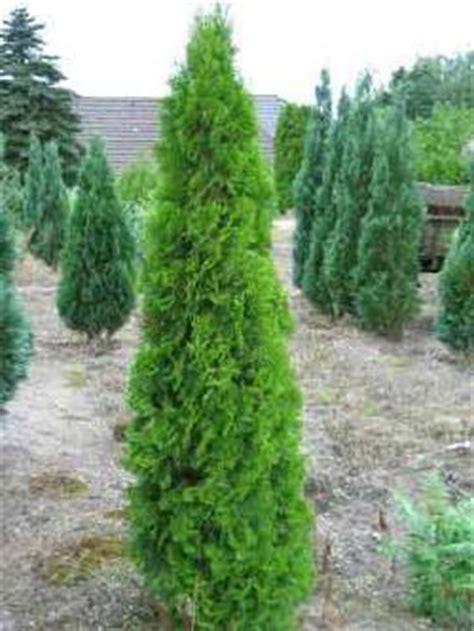 Langsam Wachsende Thuja 3388 by Schmal Wachsende Koniferen Pflanzen F 252 R Nassen Boden