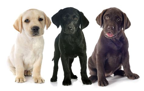 top golden retriever breeders in the midwest labrador retriever chocolate lab puppies hairstylegalleries
