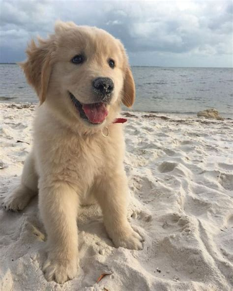 golden retriever puppy and baby 25 best ideas about golden retrievers on golden golden retriever