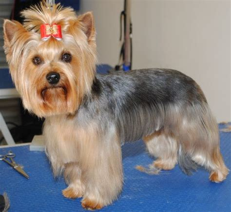 Stunning Yorkie Hair Cuts | haircuts yorkshire terrier and yorkshire on pinterest