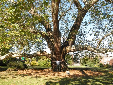 tree pictures caring for an historic american sycamore 171 tree preservation 171 tree topics