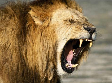 imagenes de leones full hd rugido de le 243 n hd fondoswiki com