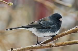 Most Common Backyard Birds - prairie nature dark eyed slate coloured juncos regina backyard guests