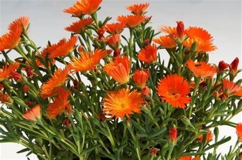 fiori arancioni nomi piante grasse nomi foto e fiori