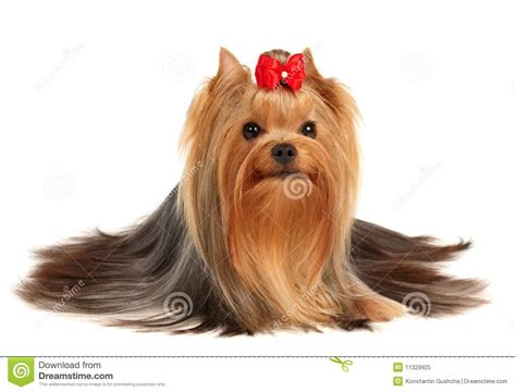 yorkie show the terrier of show class royalty free stock photo image 11329925