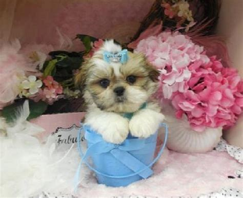 teacup shih tzu puppies for sale in nc 1000 images about fluffy on chihuahuas teacup