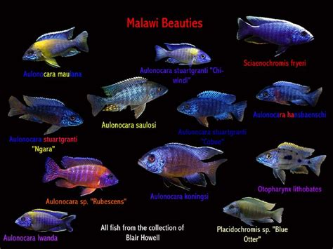 Aquascaping Supplies 17 Best Ideas About Malawi Cichlids On Pinterest African