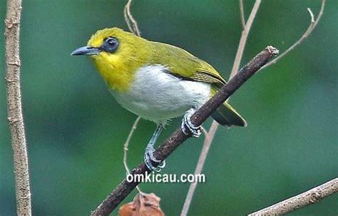 Lingkar Mata kacamata makassar burung endemik sulawesi dengan lingkar